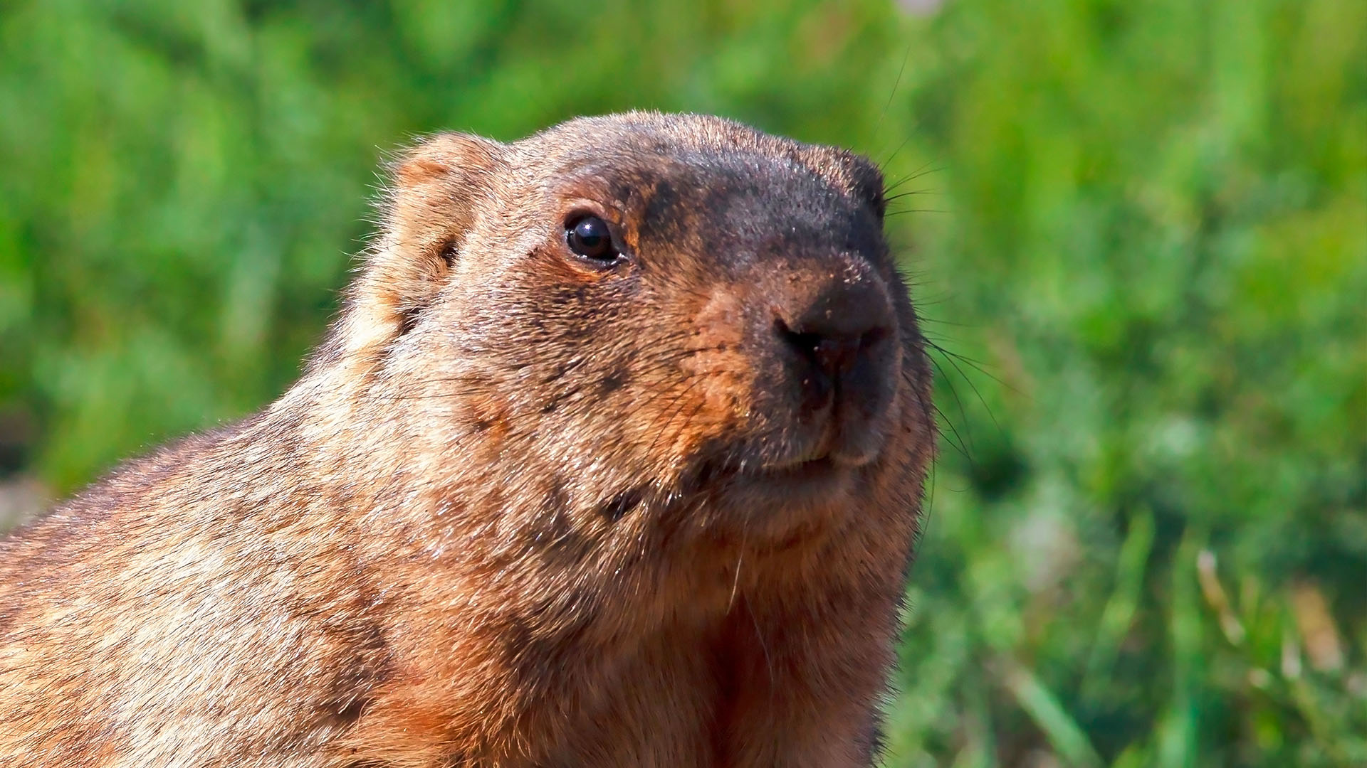 how to get rid of a groundhog