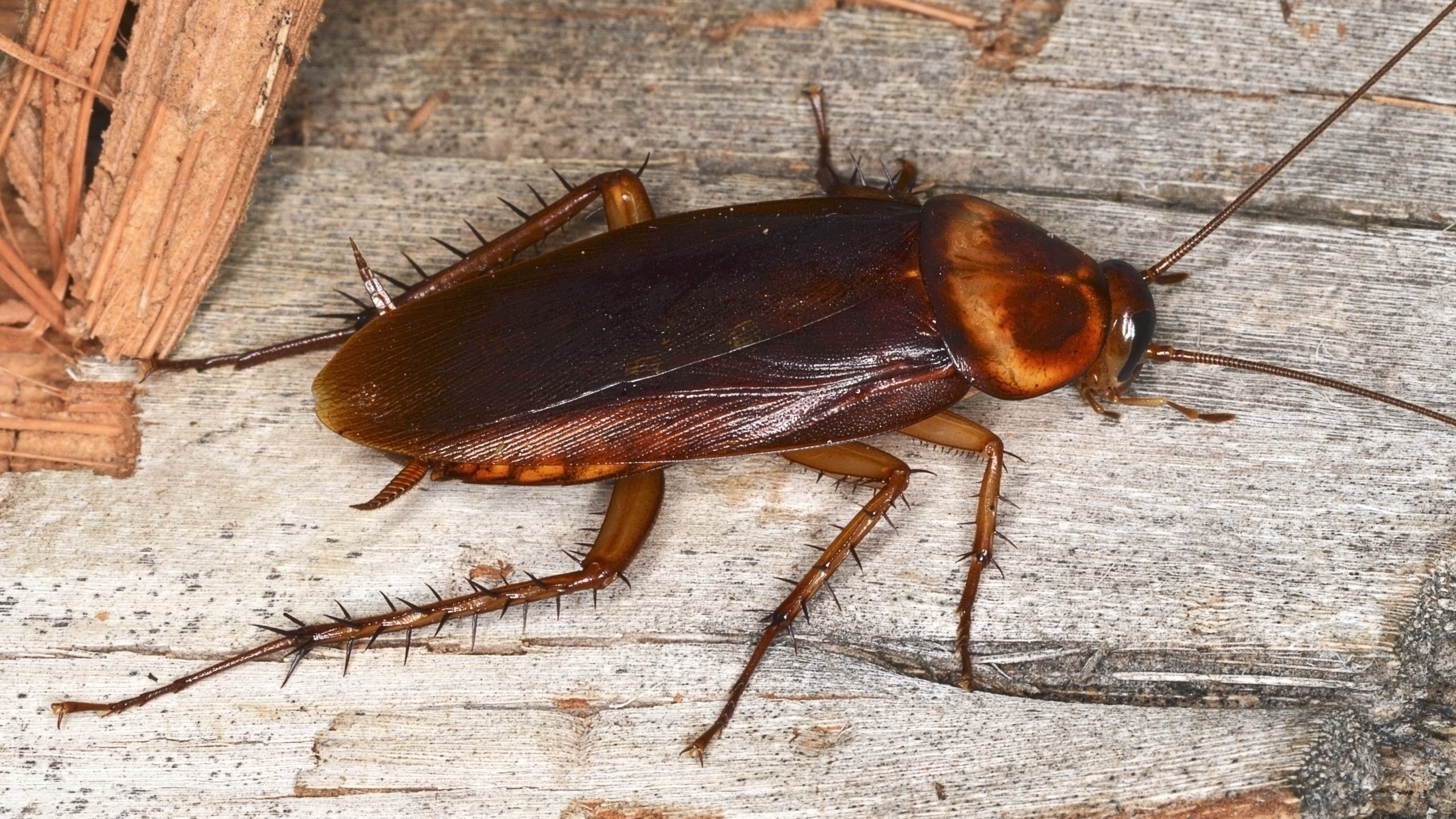 roaches-in-nc
